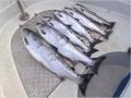Lachssaison mit den Schleppanglern